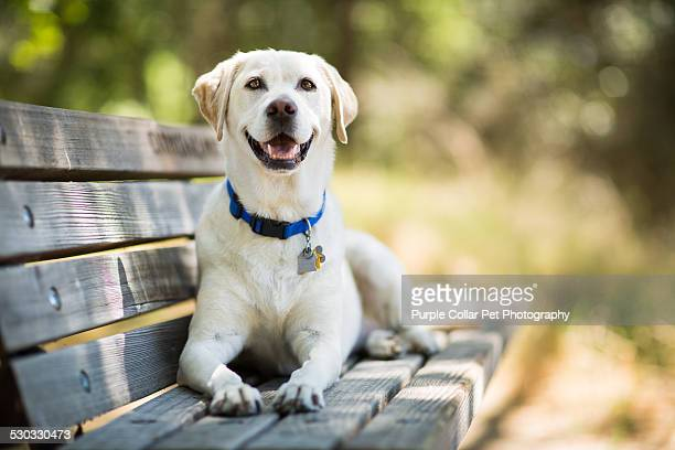 labrador retriever dog smiles on bench outdoors - halsband bildbanksfoton och bilder