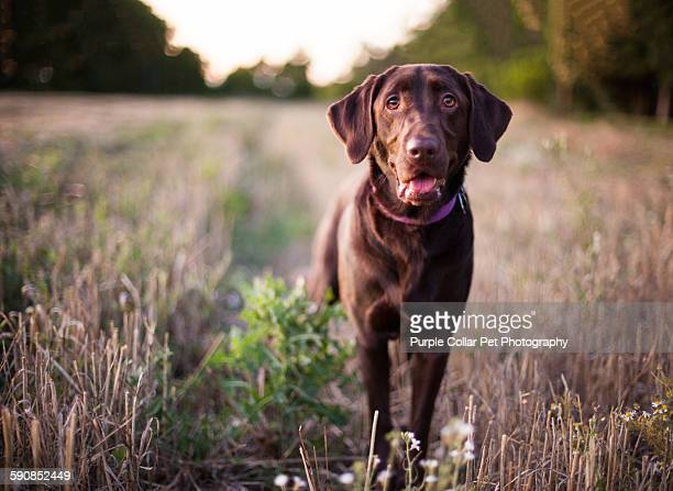 labrador retriever dog standing in field - chocolate labrador stock pictures, royalty-free photos & images