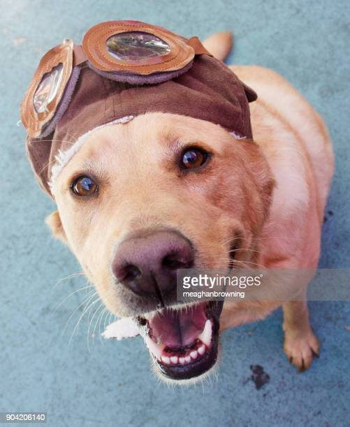 labrador retriever dog wearing an aviation hat - aviation hat stock photos and pictures