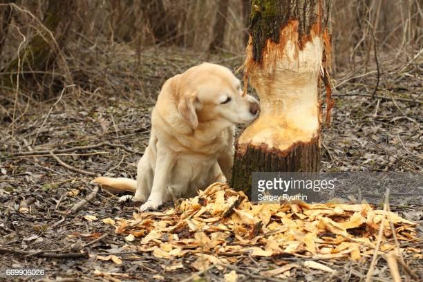 Labrador Retriever gnawing a tree