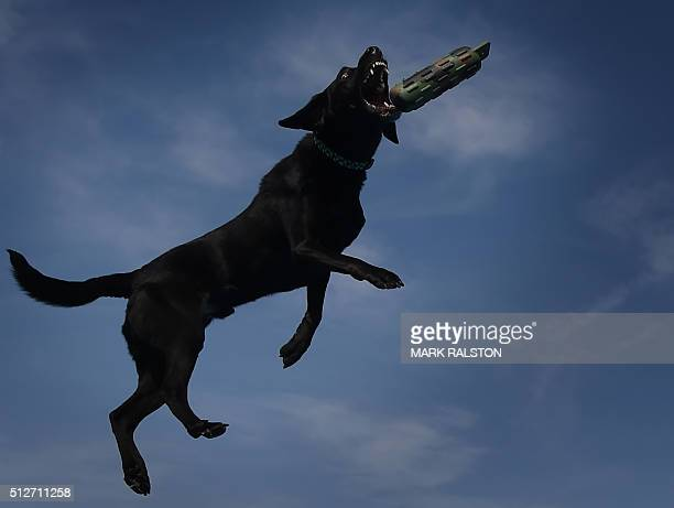 Labrador Retriever 'Harley' leaps from the dock during the Dock Dogs West Coast Challenge in Bakersfield California on February 26 2016 The current...