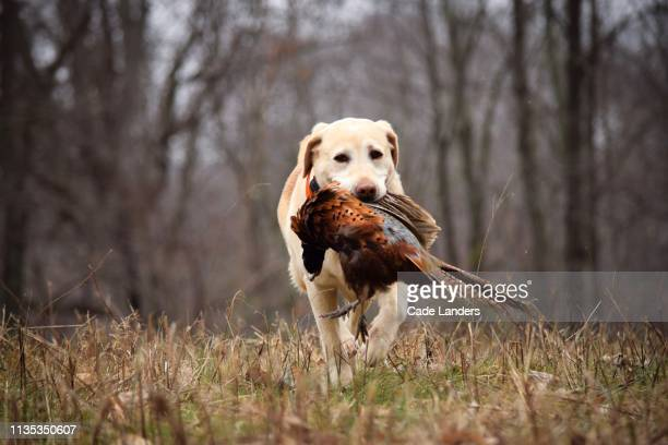 labrador retriever hunting pheasant - trained dog stock pictures, royalty-free photos & images