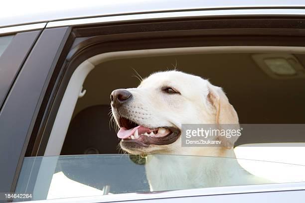 Labrador Retriever in a car