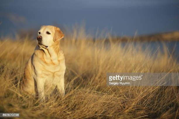 Labrador retriever in the rays of the setting sun.