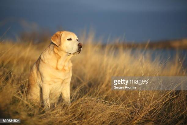 labrador retriever in the rays of the setting sun. - asymmetry stock pictures, royalty-free photos & images