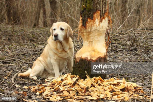 labrador retriever look out for the beaver - beaver stock pictures, royalty-free photos & images
