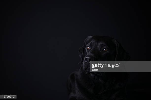 labrador retriever on black background - seeing eye dog stock photos and pictures