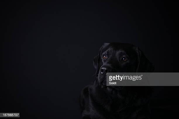 labrador retriever on black background - black labrador stock pictures, royalty-free photos & images