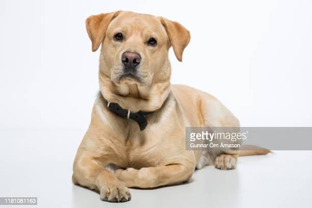labrador retriever - labrador retriever stock pictures, royalty-free photos & images