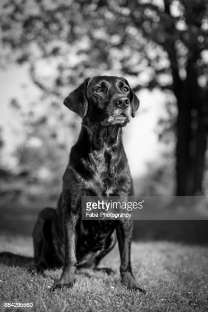 labrador retriever - niedlich stockfoto's en -beelden