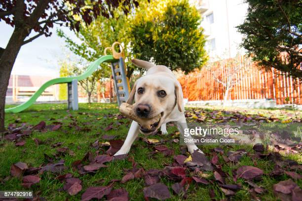 Labrador retriever playing