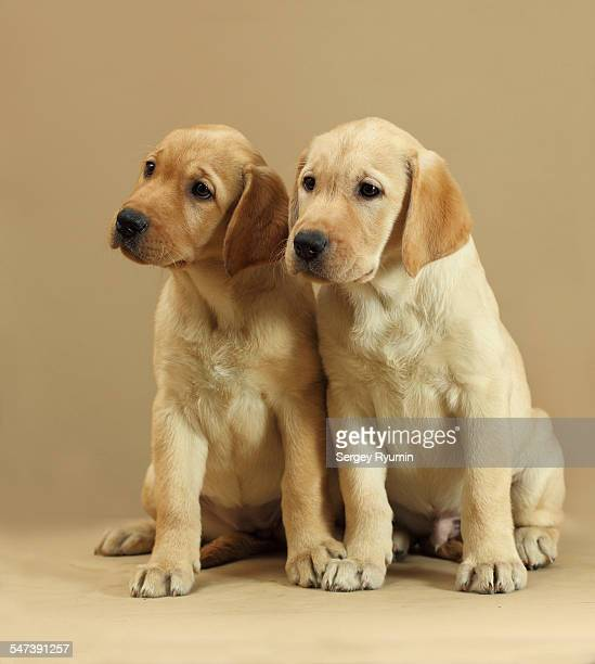 Labrador retriever puppies.
