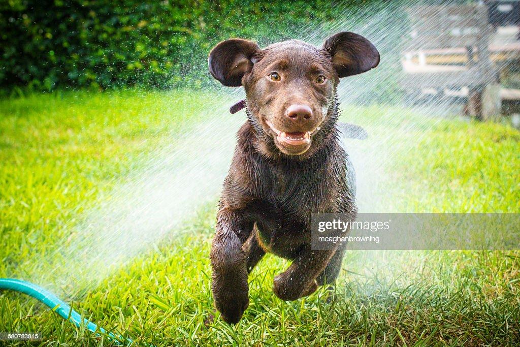 Labrador Retriever Puppy Dog Running Through Water Sprinkler Stock