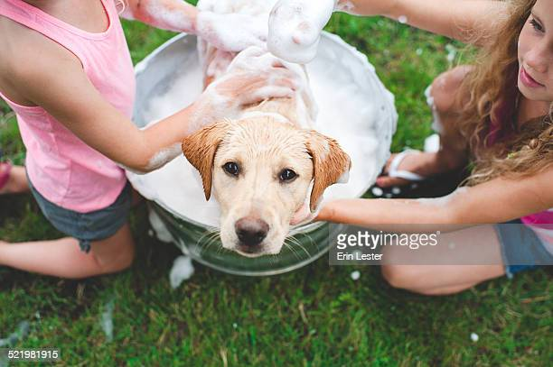 Labrador Retriever puppy in bucket looking up