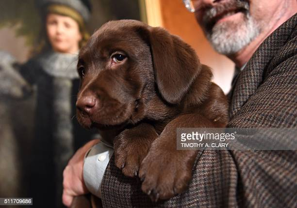 A Labrador Retriever puppy is shown to the press during a news conference February 22 2016 in New York at the American Kennel Club who revealed its...