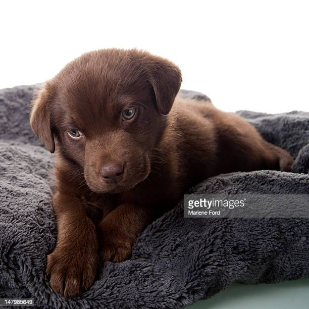 Labrador Retriever puppy