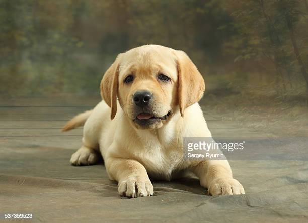 Labrador Retriever puppy.