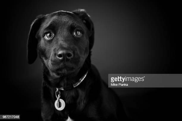 A Labrador retriever puppy.
