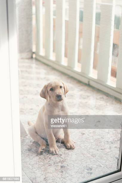 Labrador Retriever puppy sitting behind glass door on balcony