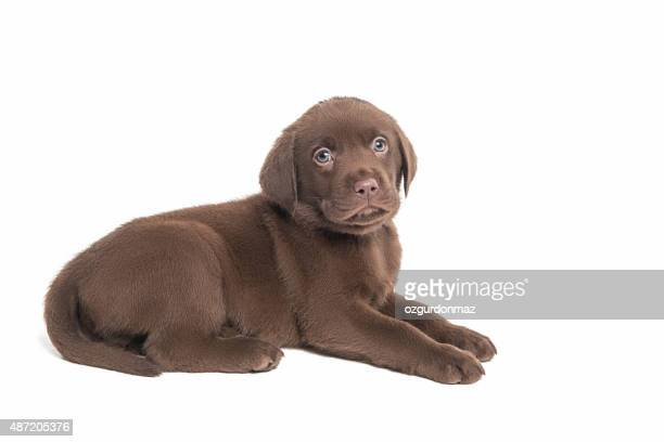Labrador retriever puppy sitting on white background
