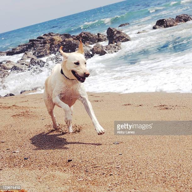 labrador retriever running on beach - rancho palos verdes stock pictures, royalty-free photos & images