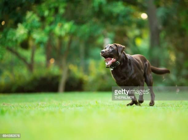 labrador retriever running - chocolate labrador stock pictures, royalty-free photos & images