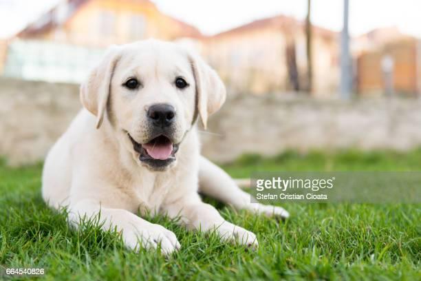 labrador retriever sitting on grass - labrador retriever stock pictures, royalty-free photos & images