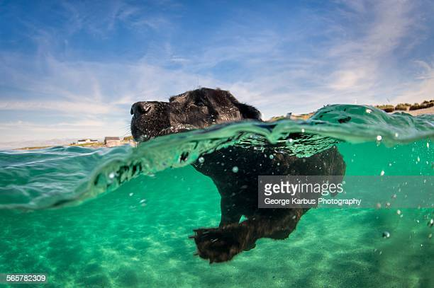 Labrador retriever swimming in water, surface level view