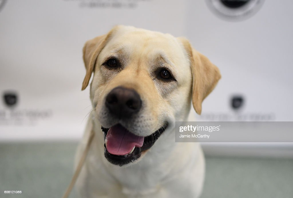 The American Kennel Club Reveals The Most Popular Dog Breeds Of 2016 : News Photo