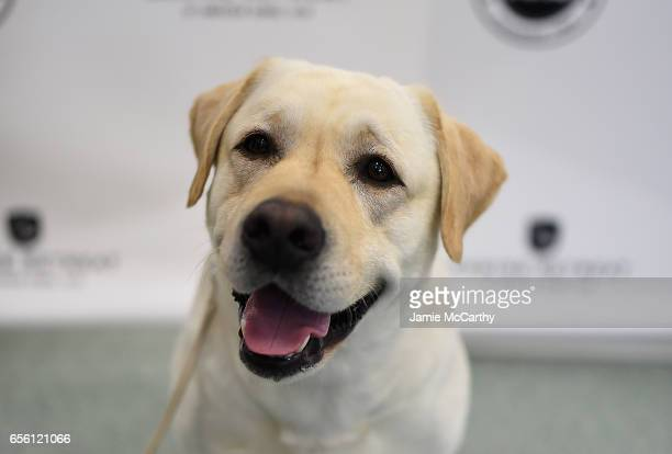 Labrador Retriever, the number 1 most popular breed of 2016,is shown at The American Kennel Club Reveals The Most Popular Dog Breeds Of 2016 at AKC...
