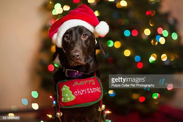 Labrador Retriever with Santa hat