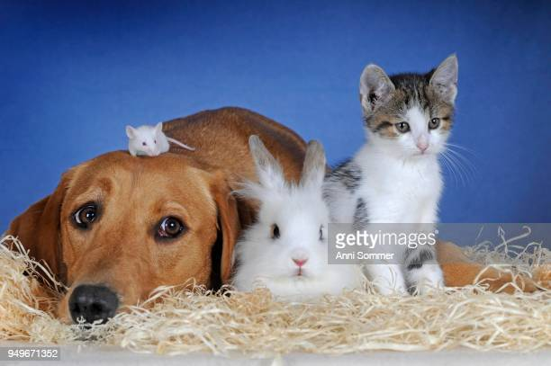 Labrador retriever, yellow, bitch and color mouse, kitten and dwarf rabbit lying next to each other