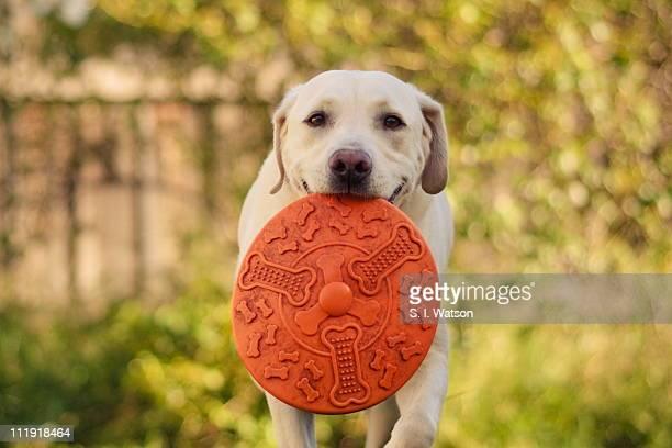 labrador retrieves frisbee - くわえる ストックフォトと画像