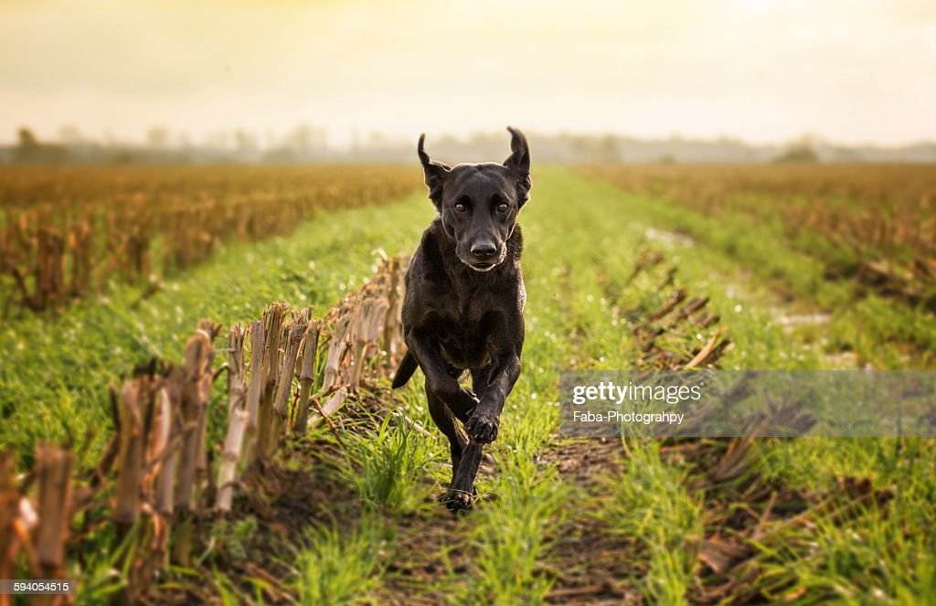 Labrador Retriver Running : Stock Photo