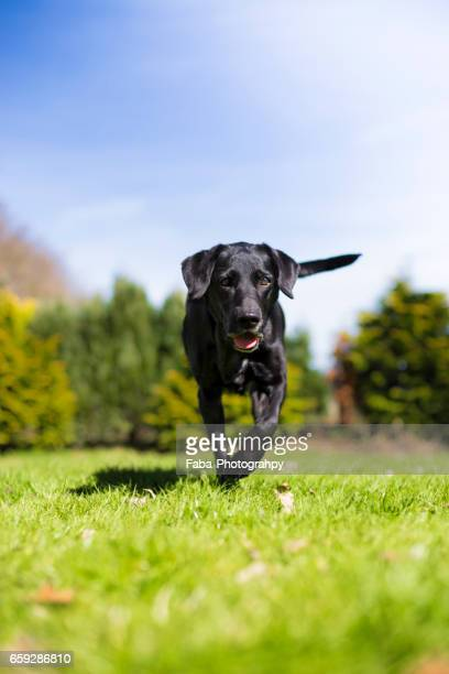 labrador running - spaß stock pictures, royalty-free photos & images