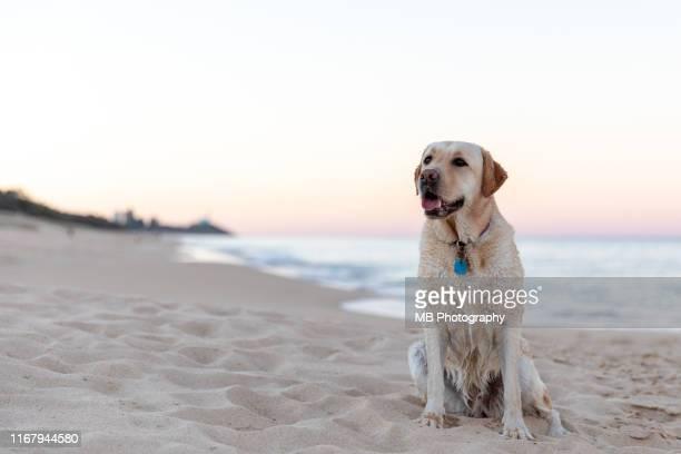 labrador sitting at beach - labrador retriever stock pictures, royalty-free photos & images