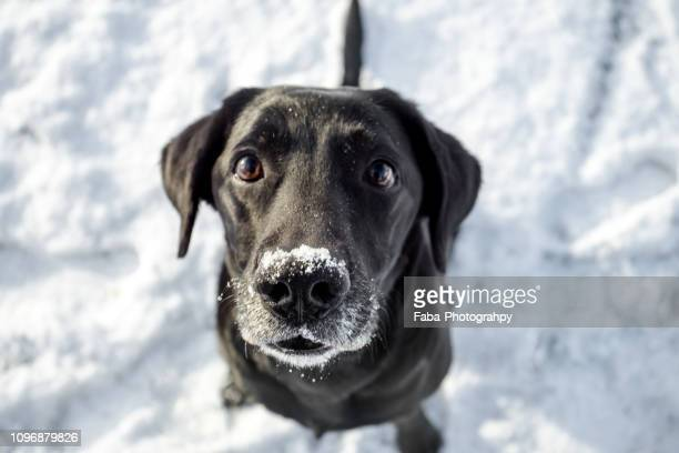 labrador sitting in snow - one animal stock pictures, royalty-free photos & images