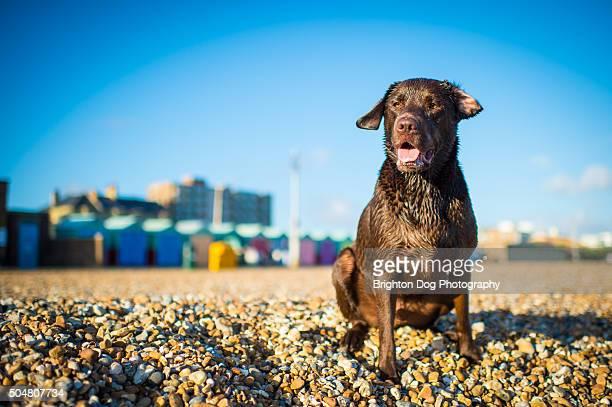 a labrador sitting on brighton beach - brighton beach england stock pictures, royalty-free photos & images