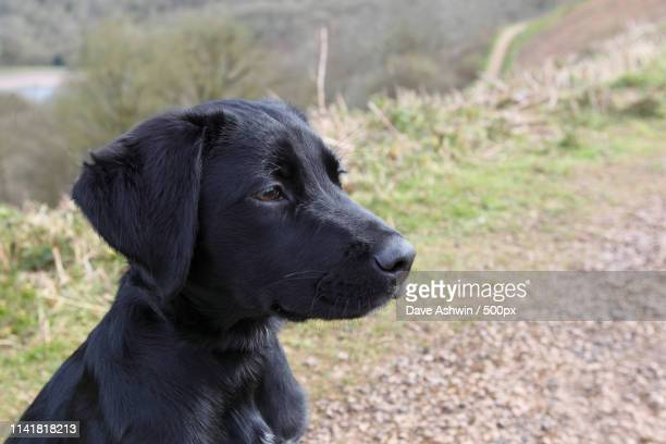labrador spaniel cross pup - dave ashwin stock pictures, royalty-free photos & images