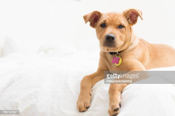 Labrador terrier mix Puppy dog  lying on bed