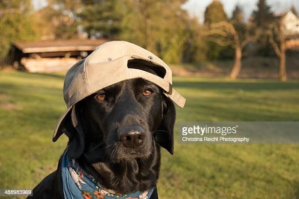 Labrador wearing baseball cap in garden