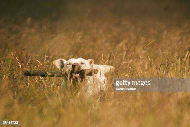 labrador with a stick in it's mouth running through a field - stick stock-fotos und bilder