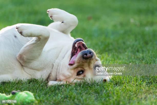 labrador with play mood - labrador retriever stock pictures, royalty-free photos & images