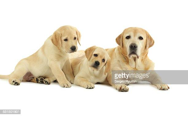 Labrador with the puppies