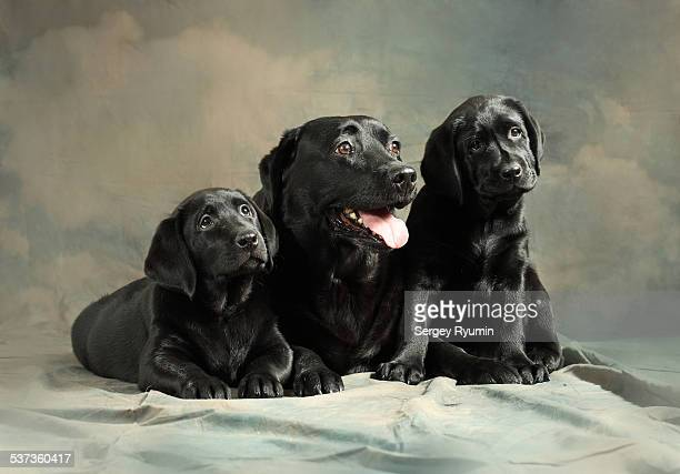 Labrador with the puppies.