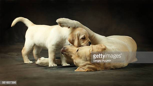 Labrador with the puppy.