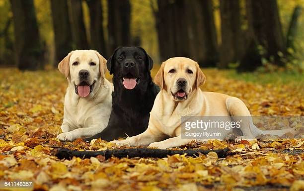 Labradors in the park.