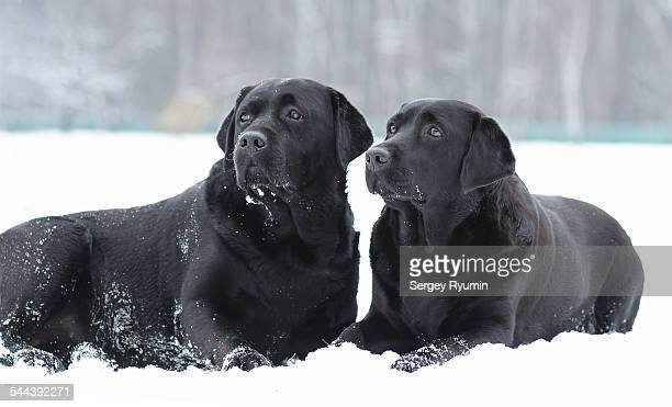labradors in the snow. - black labrador stock pictures, royalty-free photos & images