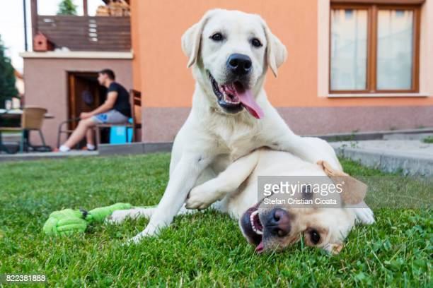 Labradors playing