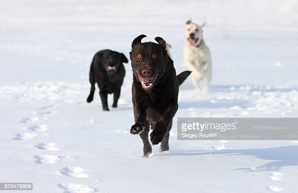 Labradors running in the snow.